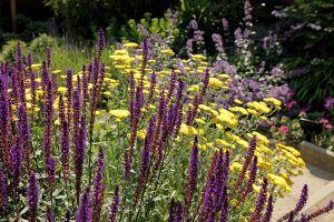 paarse bloemen lavendel